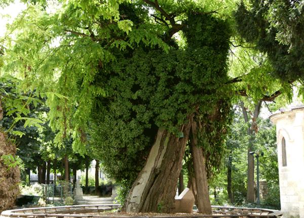 plus-vieil-arbre-de-Paris-square-Viviani